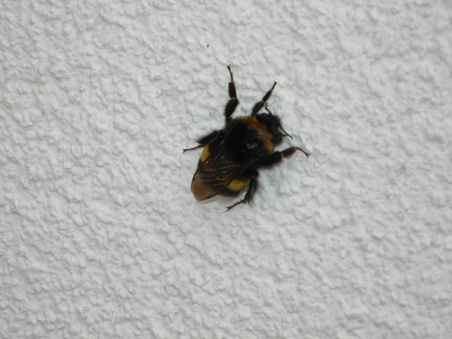Solitary Bumble Bee