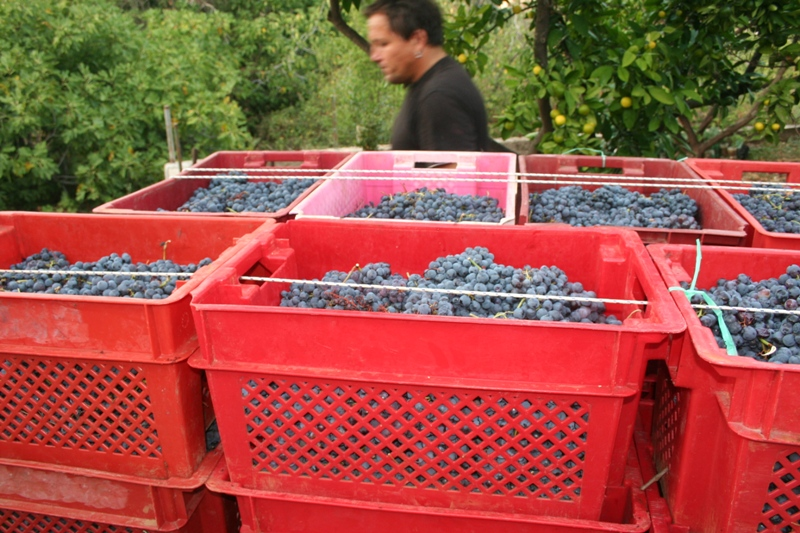 25 kilogram boxes of grapes, destined for the winery