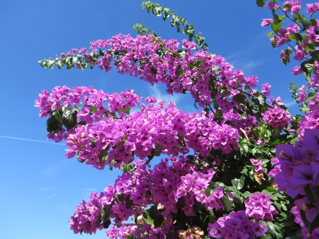 Standard Dol coloured Bougainvillea