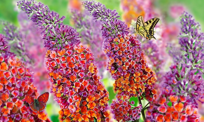 Buddleja Flower Power