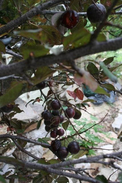 A plum job  –  2019/28