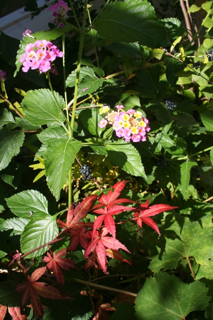 Japanese Maple and Lantana