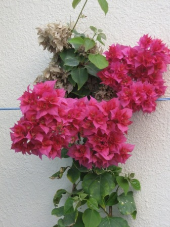 Double Bougainvillea