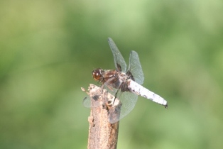 Blue chaser dragonfly