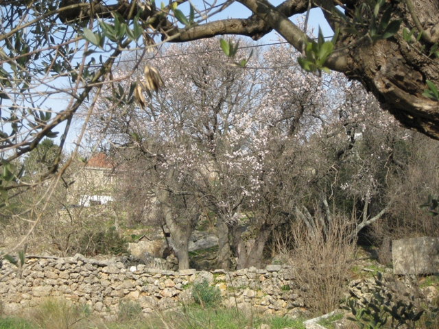 The delicate pink almond blossom