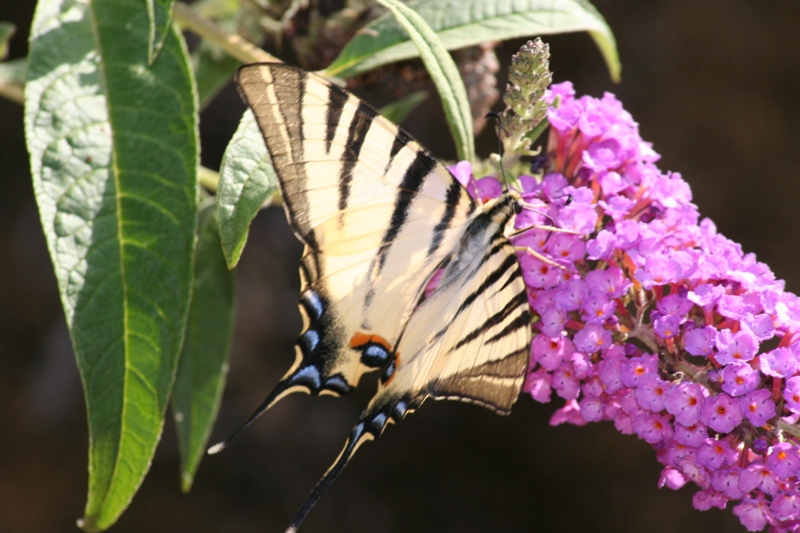 Swallowtail butterfly on a Buddleia