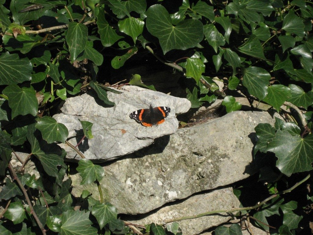 January butterfly, the Red Admiral