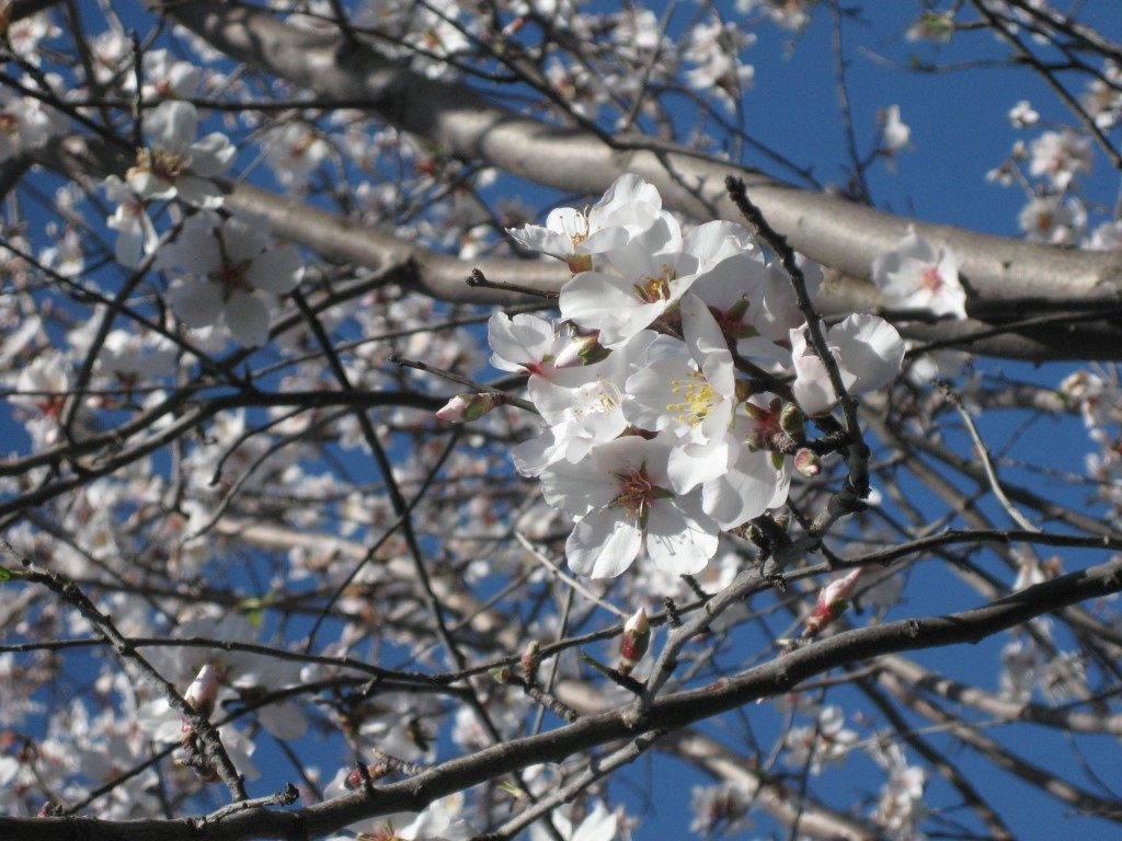 Plum blossom on bare branches