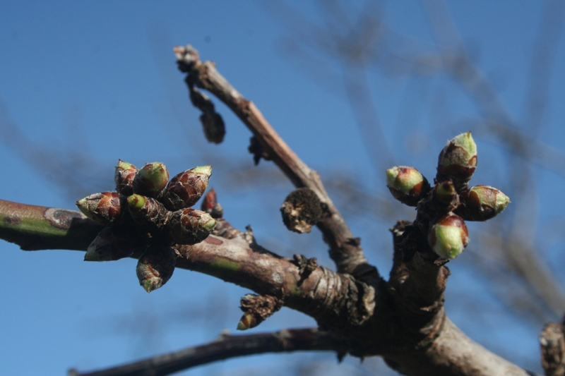 Buds swell on the grape vines