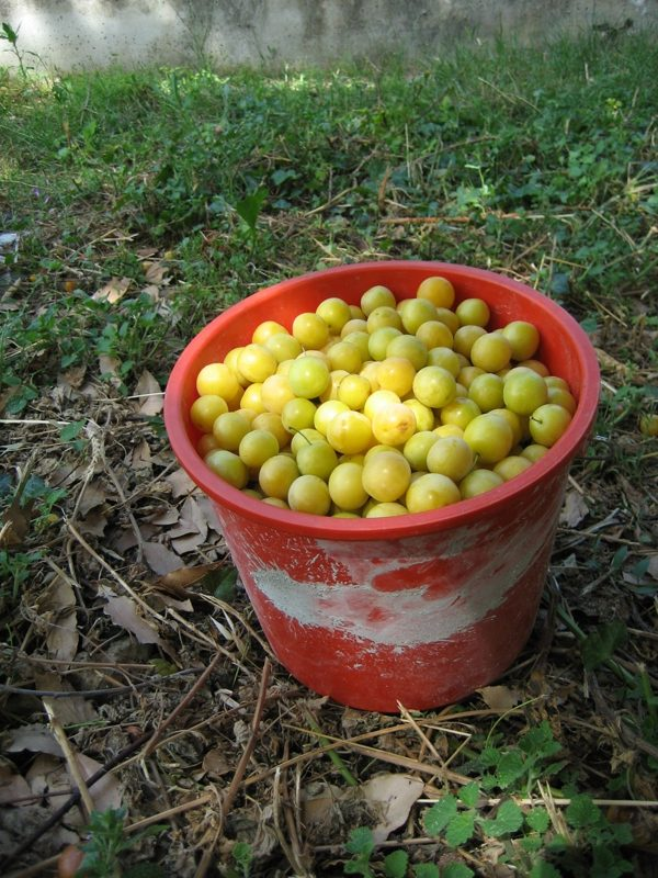 Plums by the bucket load