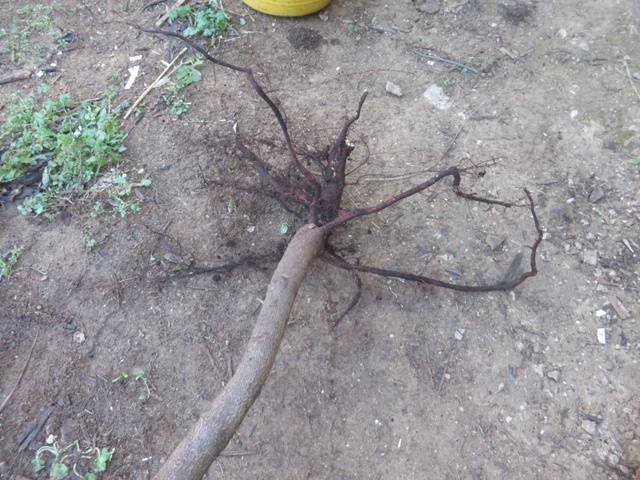 Bare rooted