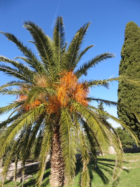 Sunshine on a Date Palm