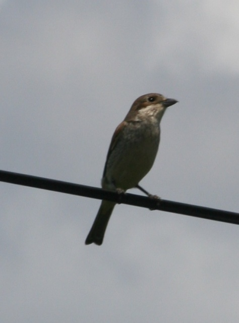 Female Red Backed Shrike