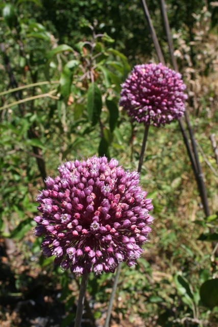 Round headed leek flower