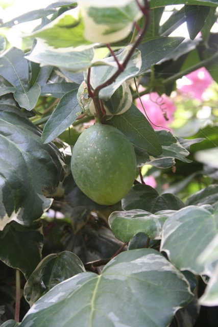 Ripening Passion Flower fruit