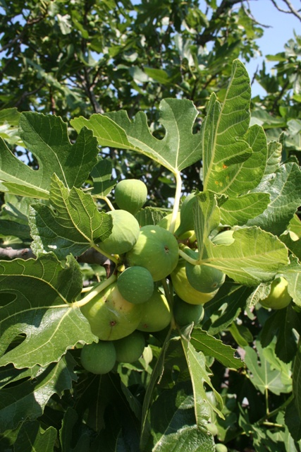 2020 crop of figs