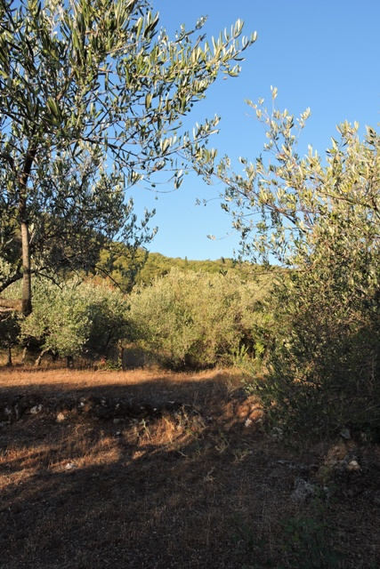 Early morning in the olive grove