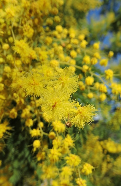 Mimosa flowers closeup