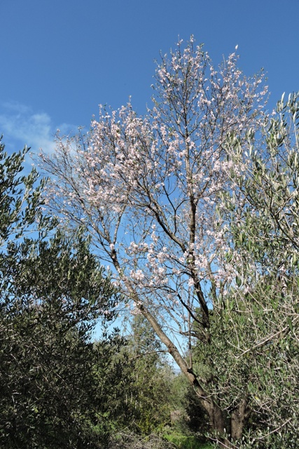Orchard Almond tree