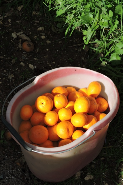 Bucket of Mandarins