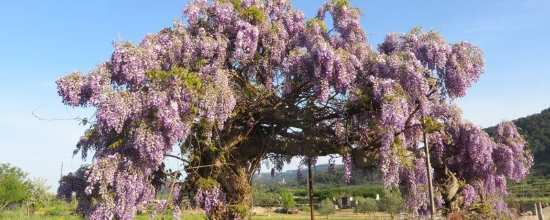 An old and beautiful Wisteria